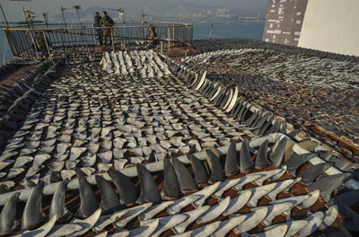 Shark fins drying on Hong Kong roof