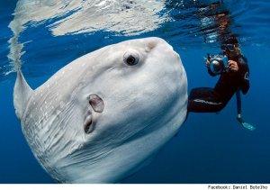 Botelho sunfish