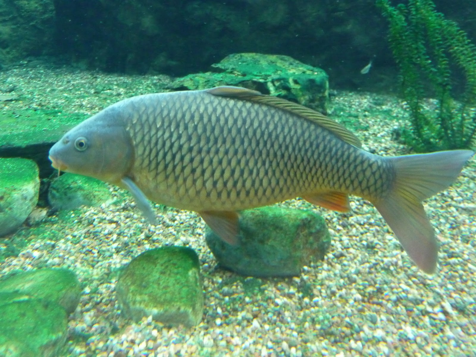carp as snitches using the judas fish technique beel