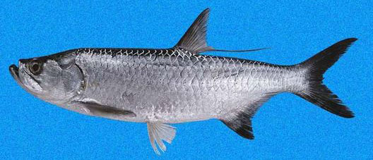 Picture of tarpon