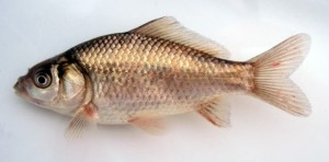 natural coloration pattern of wild goldfish