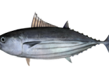 drawing of skipjack tuna