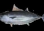 drawing of skipjack tuna
