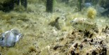 owens valley pupfish