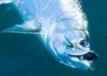 Boca Grande tarpon hooked in mouth