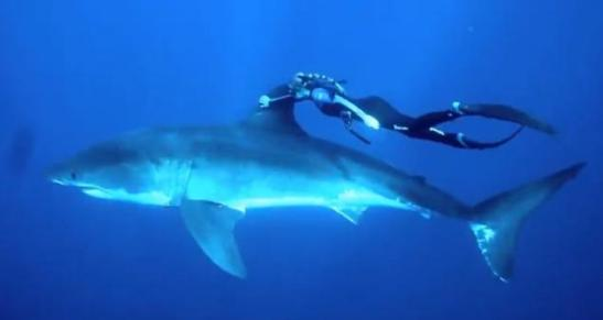 Ocean Ramsey swimming with a great white shark