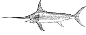drawing of a swordfish