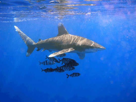 photograph of a white tipped shark the species that died in a Kmart commercial shoot