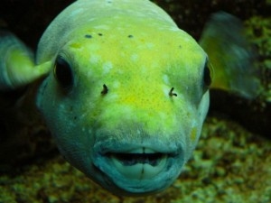 Puffer fish showing its teeth