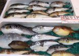 puffer fish for sale at market