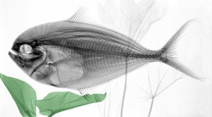 Colorized x-ray photograph of fish.  (Source: Arie van 't Riet)