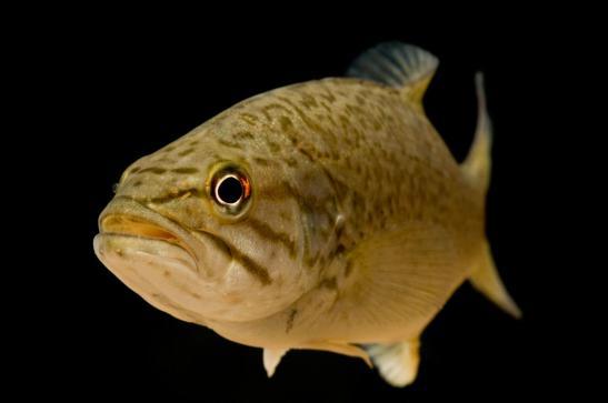 feminized smallmouth bass